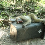 Napping on the trash can in Mosi-O-Tuna NP