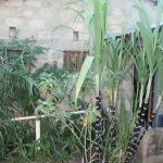 Sugar cane in back garden