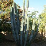 Giant cactus in back garden