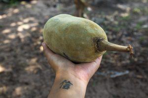 one Baobab seed pod